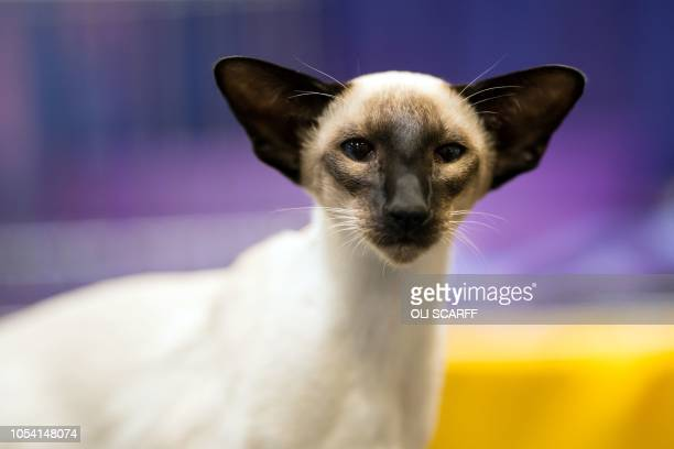 A Seal Point Siamese Kitten rests after being judged at the 42nd 'Supreme Cat Show' organised by the Governing Council of the Cat Fancy and held in...