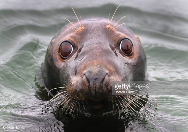A seal pokes its head out of the water at the Chatham Fish Pier in Chatham MA on Sep 19 2017 Preparations are being made ahead of the impact of...