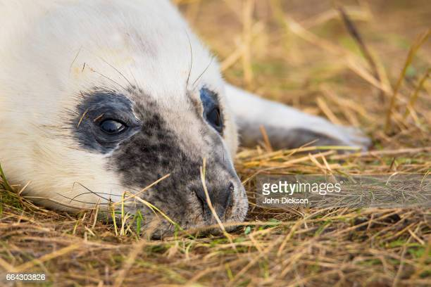 seal portrait - dunes arena stock pictures, royalty-free photos & images