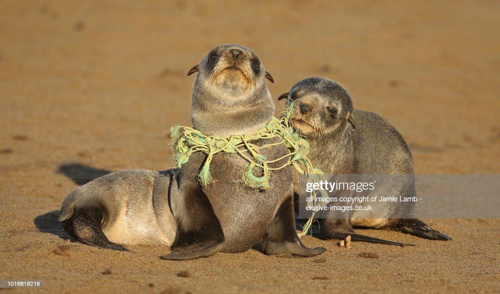 Seal Pup choking on Fishing line : Stock-Foto
