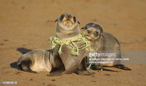 seal pup choking on fishing line - plastic stockfoto's en -beelden