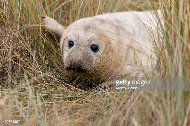 seal pup - andrew dernie photos et images de collection