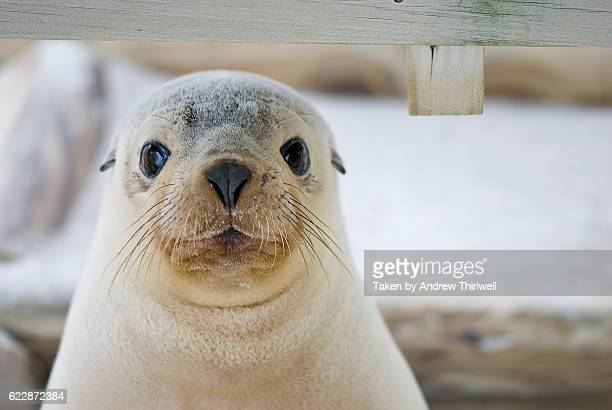 seal pup - kangaroo island stock pictures, royalty-free photos & images