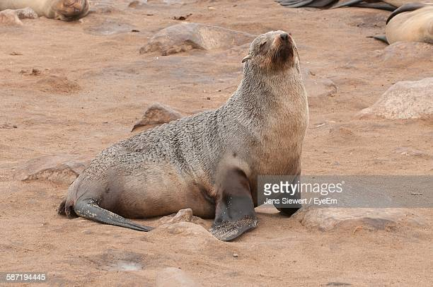 Seal Relaxing At Beach