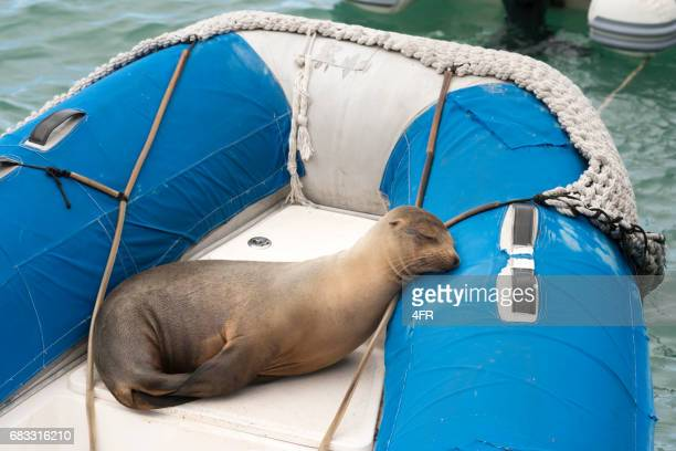 Seal resting on a raft boat, Galapagos Islands