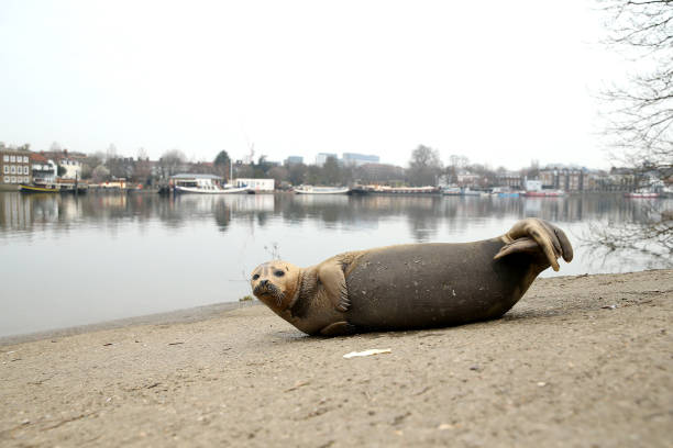 GBR: Seal Sighting On The River Thames