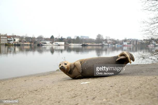 Seal rests on the banks of the River Thames in Hammersmith on March 08, 2021 in London, England. Whilst it is not unusual to occasionally spot seals...