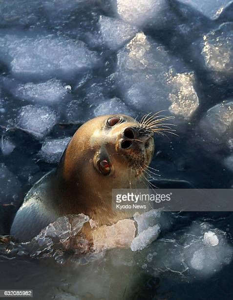 A seal shows its face through a crack in the ice in the Antarctic Sea in this photo taken Dec 23 from the deck of Japan's icebreaker Shirase