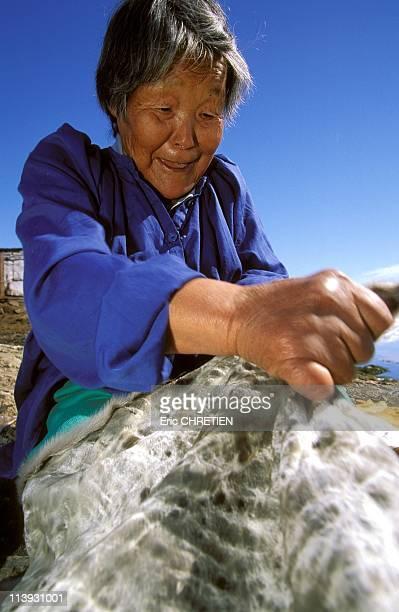 Seal Skin Work In Greenland In 1997Kamelia a Greenlandic village Tiniteqiilaq whitens the skin of a seal by loosening the leather Region Ammassalik...