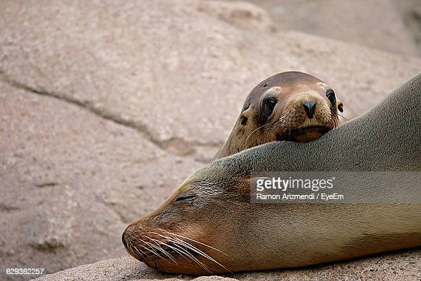 seal sleeping by pup on rock - baby seal stock photos and pictures