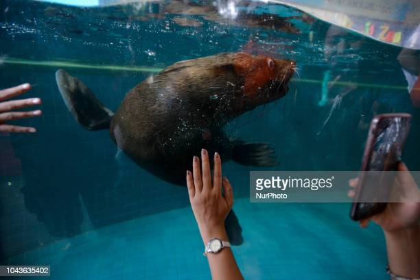 A Seal swims close to an aquarium glass as visitors gather for a closer look following a Seal show at Dusit Zoo in Bangkok Thailand 30 September 2018...
