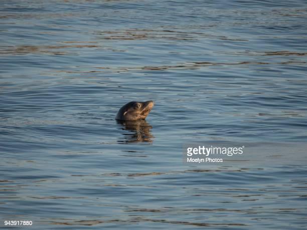 Seal Taking a Peek - Morro Bay