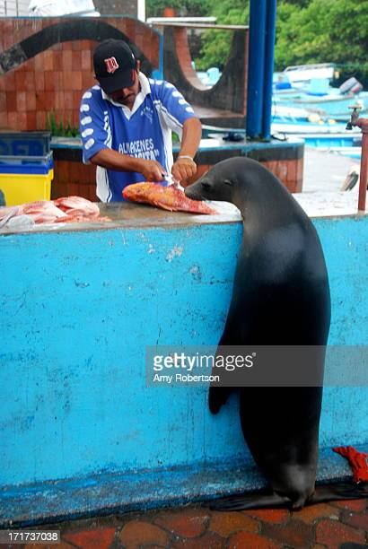 A seal watches as a fisherman prepares his daily catch in Puerto Ayora Galapagos Ecuador on July 17 2010