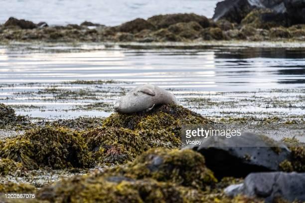 seal watching at ytri tunga vi, snӕfellsnes peninsula, iceland - vsojoy stock pictures, royalty-free photos & images