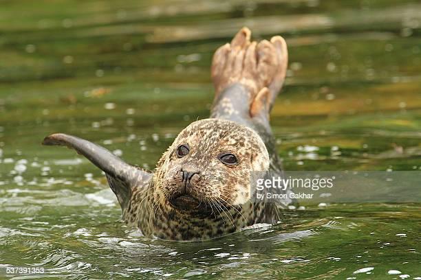 Seal Waving at Camera