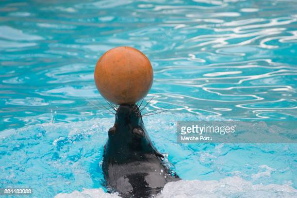 seal with a ball in the head - alicante stock pictures, royalty-free photos & images