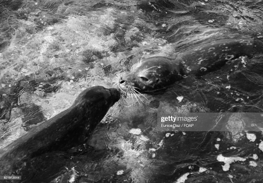 Seal with its young one in water : Stock Photo