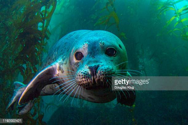 seal4nov15-19 - mammal stock pictures, royalty-free photos & images