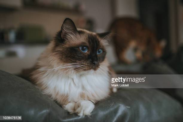 Sealpoint ragdoll cat with striking blue eyes and Bengal cat behind him