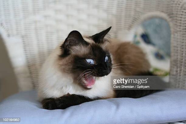 sealpoint siamese cat yawn - plymouth massachusetts stock photos and pictures