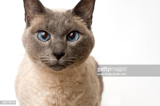 sealpoint siamese on white - siamese cat stock pictures, royalty-free photos & images