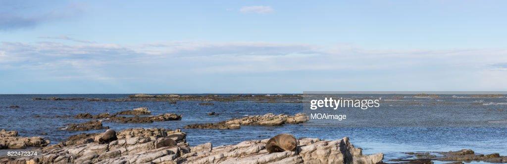 Seals are on the rocks of the seaside,near Kaikoura,South Island, New Zealand : Stock Photo