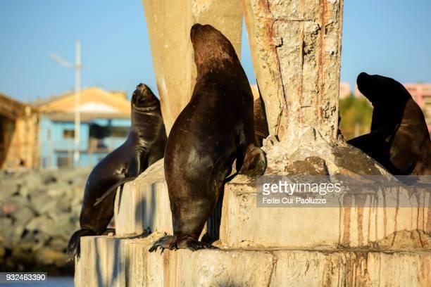 seals at seaside of valpariso, chile - parte inferior imagens e fotografias de stock