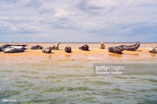 Seals basking