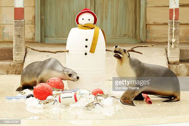 Seals eat Christmas treats at Taronga Zoo on December 21 2011 in Sydney Australia Animals received Christmas themed enrichment foods as part of the...