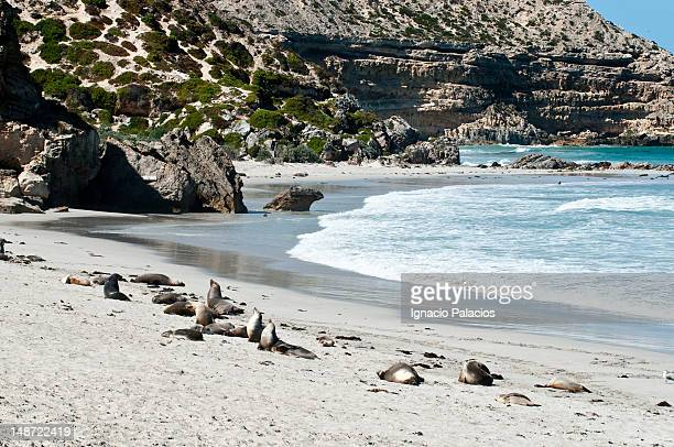 seals (sea lions) in seal bay conservation park. - kangaroo island stock photos and pictures