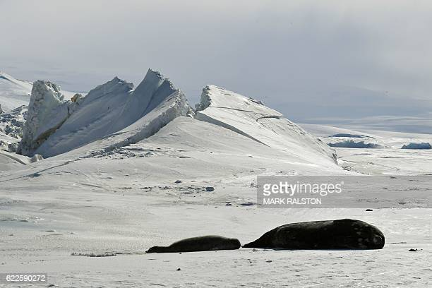Seals lie on a frozen section of the Ross Sea at the Scott Base in Antarctica on November 12 2016 Kerry is travelling to Antarctica New Zealand Oman...