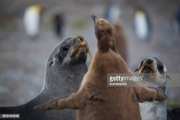 Seals look worried as they are confronted by a King Penguin chick