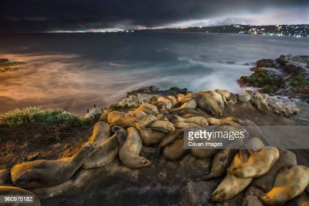 seals relaxing on rock formation against sea at night - säugetier stock-fotos und bilder