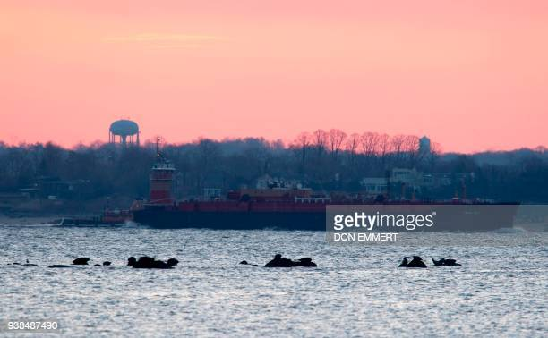 Seals rest on the rocks as a barge passes by March 16 2018 near Orchard Beach in New York as Harbor seals are among the types of wildlife that can be...