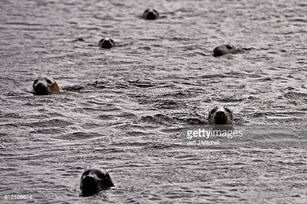 Seals shelter from stormy seas near the jetty on the Island of Foula on September 29 2016 in Foula Scotland Foula is the remotest inhabited island in...