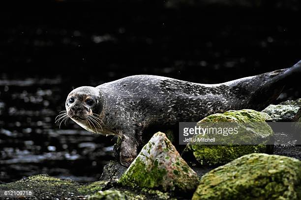 Seals shelter from stormy seas near the jetty on the Island of Foula on September 29, 2016 in Foula, Scotland. Foula is the remotest inhabited island...