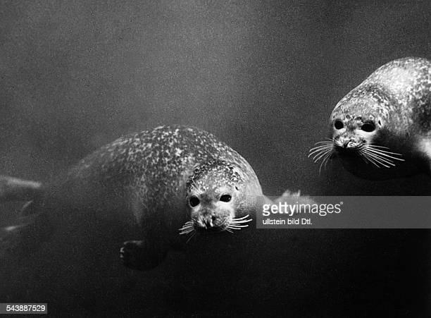Seals under water 1954 Photographer Franz Schensky Vintage property of ullstein bild