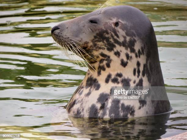 seal-station friedrichskoog - seal in the water - seal pup stock photos and pictures