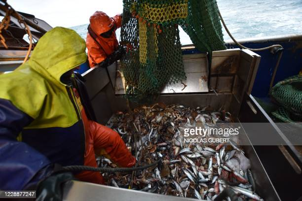 """Seamen working on the French trawler """"Le Marmouset III"""" empty the fish caught in the English Channel from the trawling net, especially cuttlefish..."""