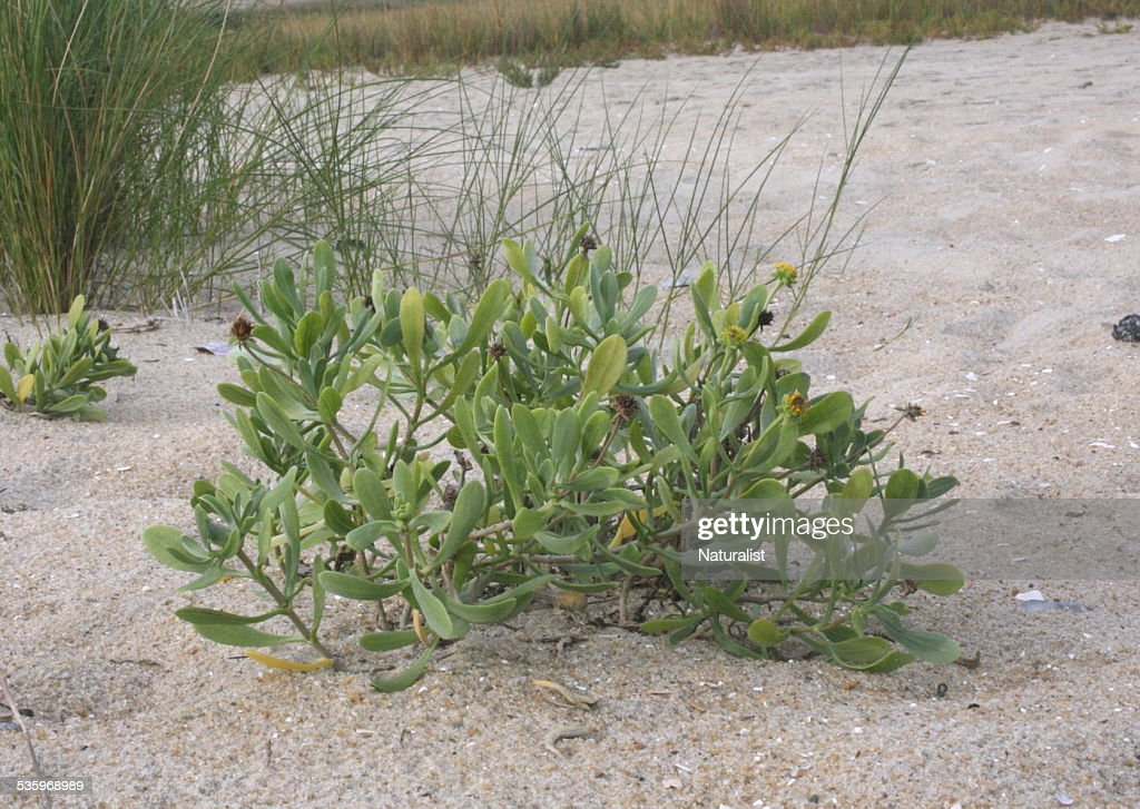 Sea-oxeyeplants in fruit : Stock Photo