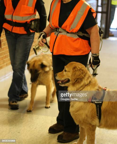 search and rescue dogs (sar) and handlers search for survivors - police dog stock pictures, royalty-free photos & images