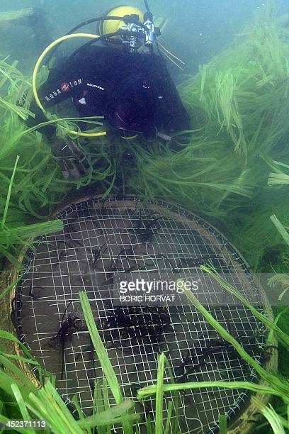 A searcher observes his new Posidonia oceanica seagrass plantation on November 28 2013 off the Grande Motte southern France An operation to recreate...