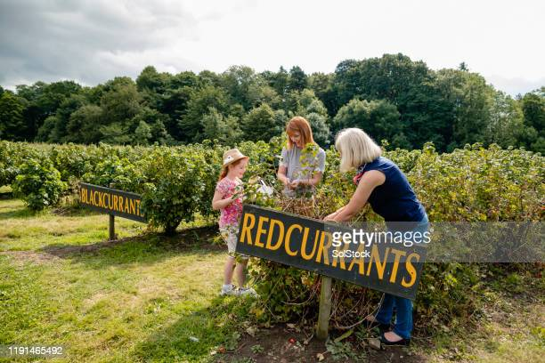 searching for redcurrants - collection stock pictures, royalty-free photos & images
