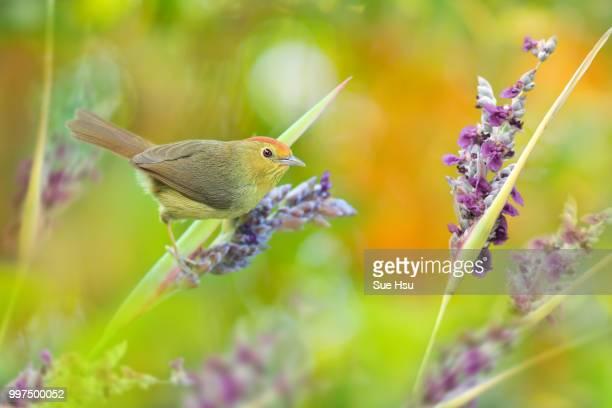 searching in the flower - zangvogel stockfoto's en -beelden