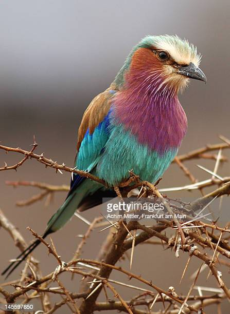 Searching look of Lilac-breasted Roller