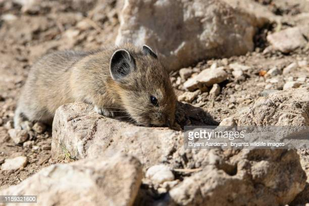 searching pika - young hairy pics stock photos and pictures