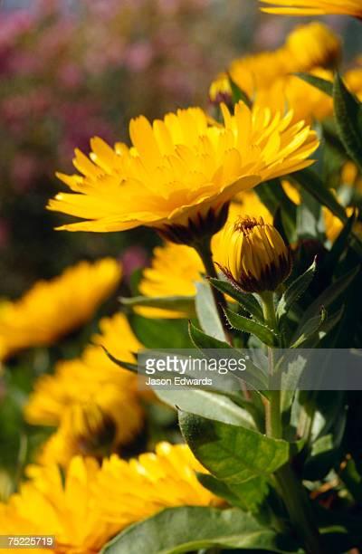 Bright yellow Calendula flower petals in a garden.