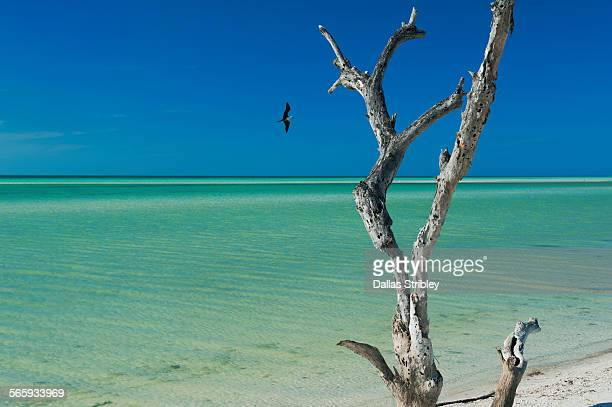 Seascape with dead tree and bird, Holbox Island