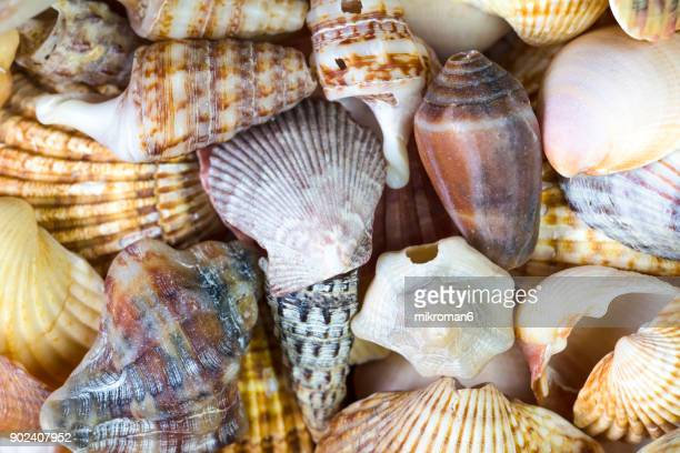 seashell close up - faro city portugal stock photos and pictures