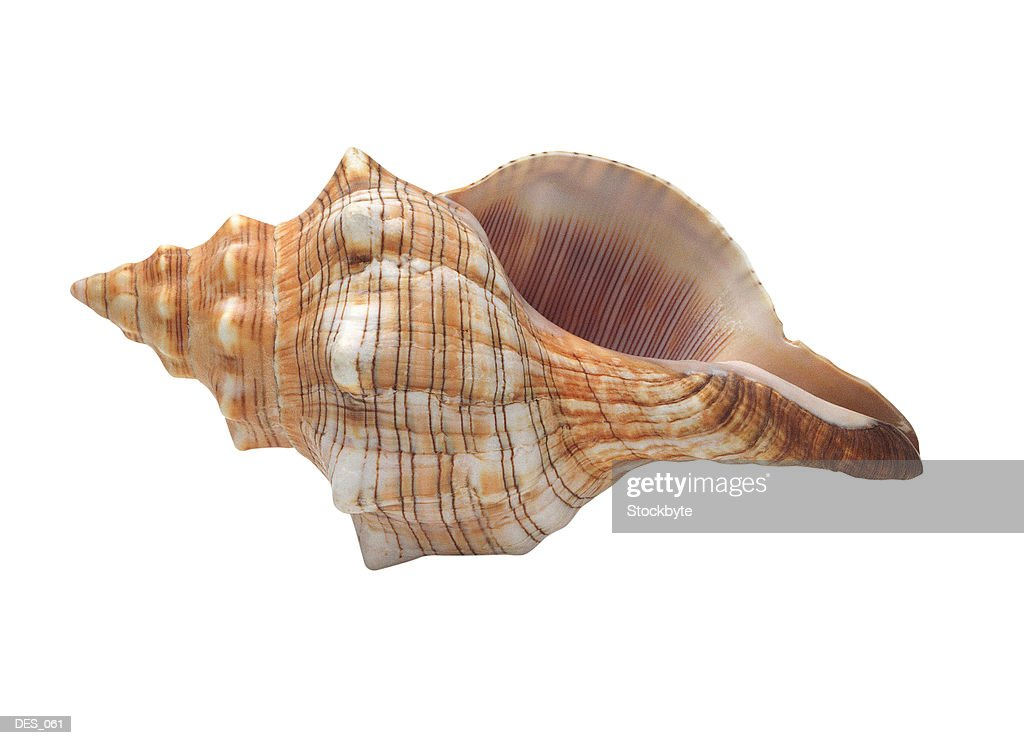 Seashell lying on its side : Stock Photo